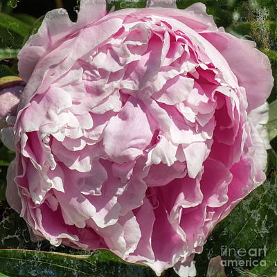 Photograph - Pink Peony II by Scott and Dixie Wiley
