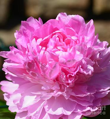 Photograph - Pink Peony by Maria Urso