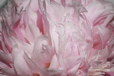 Photograph - Pink Peony by Mary-Lee Sanders