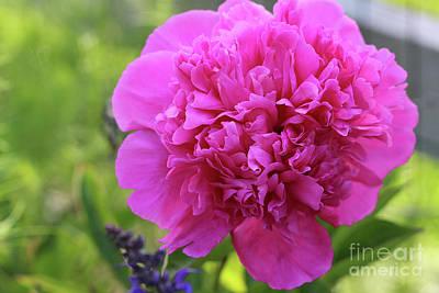 Photograph - Pink Peony No.2 by Karen Adams