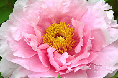 Whats Your Sign - Pink Peony Portrait by Regina Geoghan