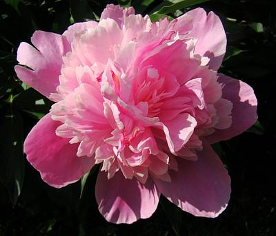 Sunlight On Flowers Photograph - Pink Peony by Sandy Keeton