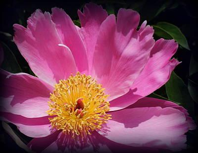Photograph - Pink Peony - Up Close by Dora Sofia Caputo Photographic Design and Fine Art