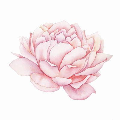Painting - Pink Peony Watercolor  by Taylan Apukovska