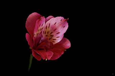 Lily Of The Incas Photograph - Pink Peruvian Lily by Jason Blalock