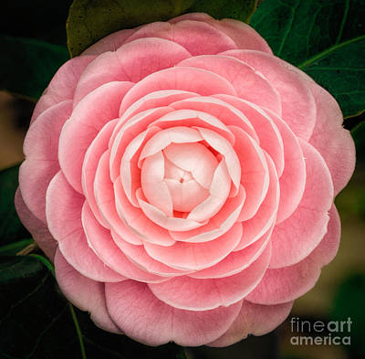 Photograph - Pink Petal Perfection by Kathleen K Parker
