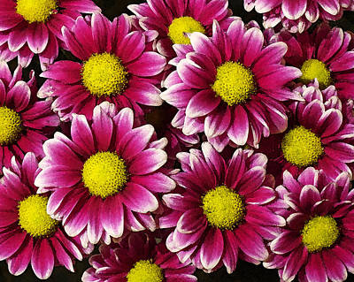 Photograph - Pink Petaled Daisies by Lawrence S Richardson Jr