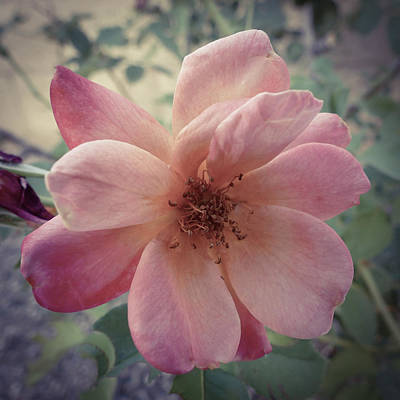 Photograph - Pink Petals by Laurel Powell