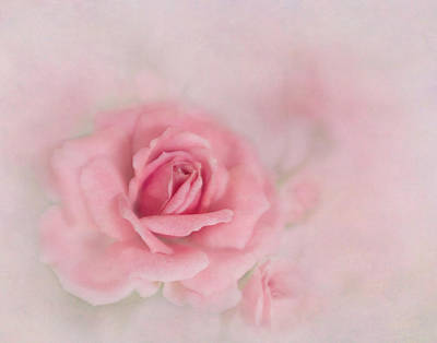 Photograph - Pink Petals Of A Rose by David and Carol Kelly