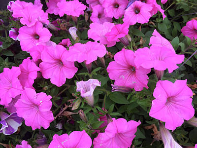 Photograph - Pink Petunias 052618 by Mary Bedy