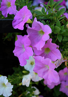 Photograph - Pink Petunias by Karen Harrison