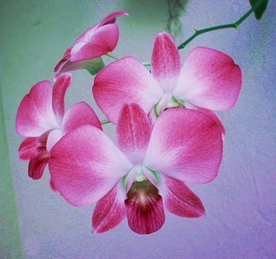 Pink Phalenopsis Art Print by Charles Yates