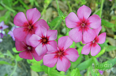 Photograph - Pink Phlox by D Hackett