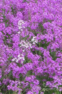 Photograph - Pink Phlox by Frank Townsley