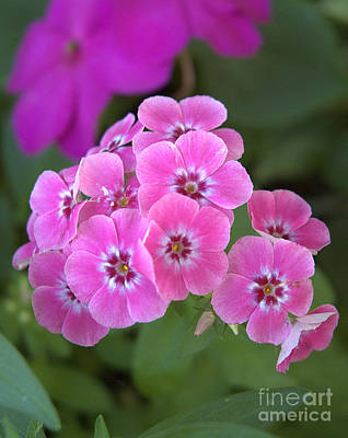 Photograph - Pink Phlox by Kathi Shotwell