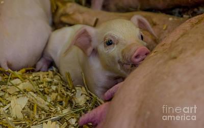 Photograph - Pink Piggy by Cheryl Baxter
