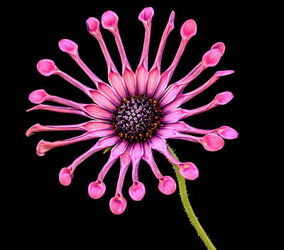 Photograph - Pink Pinwheel by Jean Noren