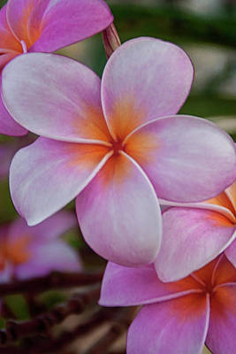Photograph - Pink Plumeria 2 by Brian Harig