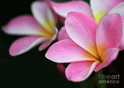 Photograph - Pink Plumeria by Sabrina L Ryan