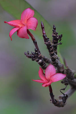 Photograph - Pink Plumeria by Susan Rissi Tregoning
