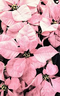 Photograph - Pink Poinsettia  by Rachel Hannah