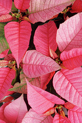 Photograph - Pink Poinsettias by Lynne Guimond Sabean