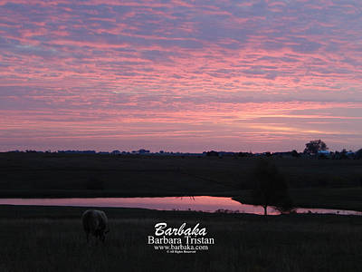 Photograph - Pink Pond And Cow #5110 by Barbara Tristan