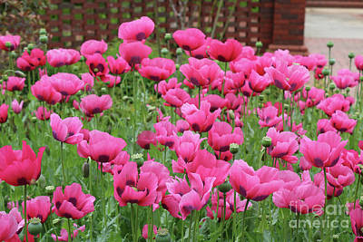 Photograph - Pink Poppies In Southern Garden by Carol Groenen