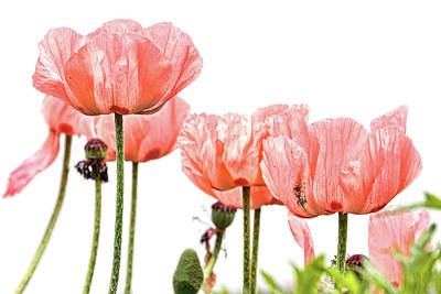 Photograph - Pink Poppies On White by Peggy Collins