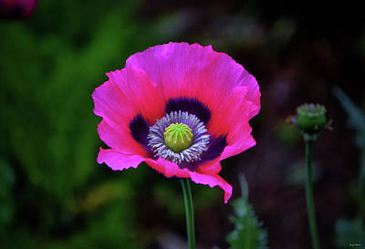 Photograph - Pink Poppy 003 by George Bostian
