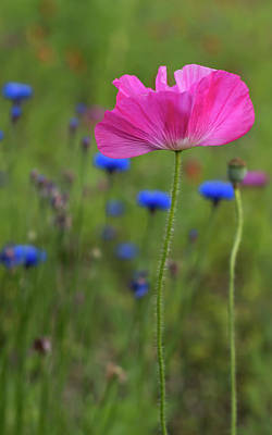 Photograph - Pink Poppy 2017 by Terry DeLuco
