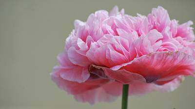 Photograph - Pink Poppy by Amee Cave