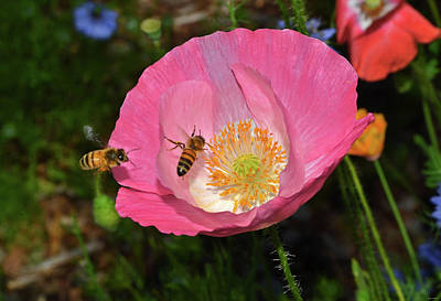 Photograph - Pink Poppy And Friends 006 by George Bostian