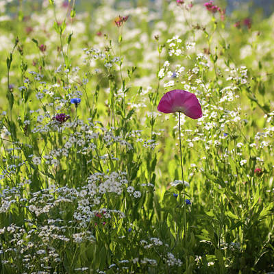 Pink Poppy And Wildflowers Square Art Print