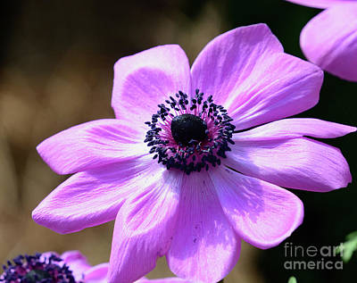 Photograph - Pink Poppy Anemone by Cindy Manero