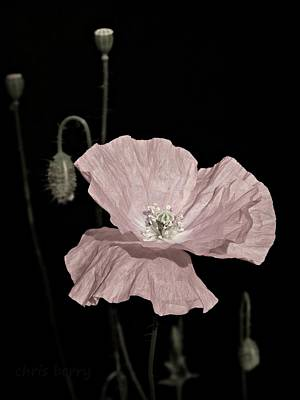 Photograph - Pink Poppy On Black by Chris Berry