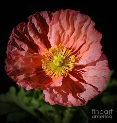 Photograph - Pink Poppy Portrait by Chalet Roome-Rigdon