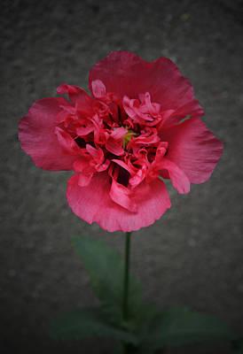 Pretty Pink Poppy Macro Photograph - Pink Poppy by Richard Andrews