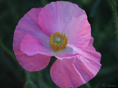 Photograph - Pink Poppy by Ron Monsour