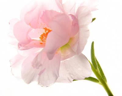 Photograph - Pink Portulaca by Ann Bridges