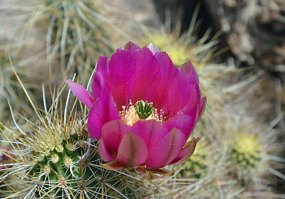 Photograph - Pink Prickly by Aimee L Maher ALM GALLERY