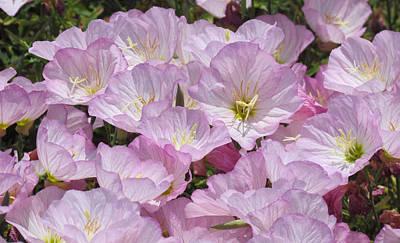Photograph - Pink Primrose by Bonnie Muir