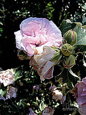 Photograph - Pink Profusion by Nancy Kane Chapman