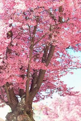 Photograph - Pink Prunus Tree In Abundant Bloom by Jenny Rainbow