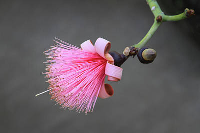 Photograph - Pink Pseudobombax Ellipticum Flower by Bonnie Follett