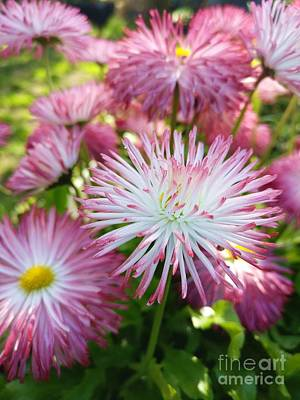Photograph - Bellis Habanara Or Indi Rose by Isabella Shores