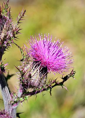 Photograph - Pink Purple Bull Thistle by rd Erickson