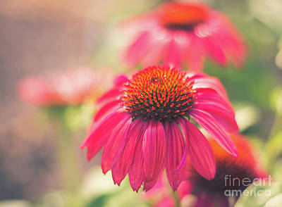 Photograph - Pink Purple Coneflower by Cheryl Baxter