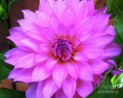 Photograph - Pink Purple Dahlia Flower by Kristen Fox
