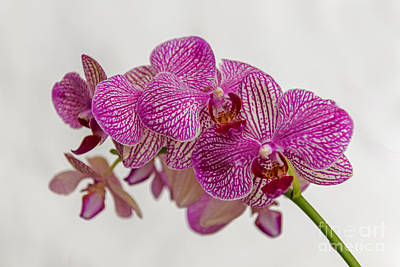 Photograph - Pink Purple Orchid 2 by Willie Harper
